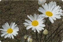 除虫菊とは? 除虫菊